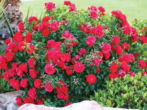 canadian shield rose vinelands planting instructions